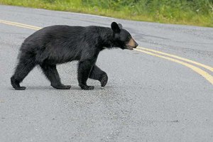 Black Bear Crossing Street