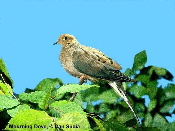 dove hunting.jpg
